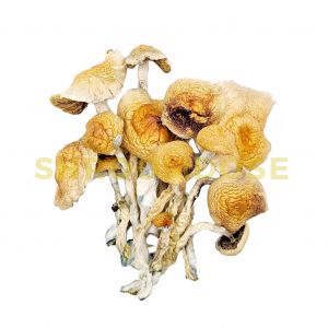 African Transkie magic mushrooms for sale online in Canada. buy magic mushrooms online.