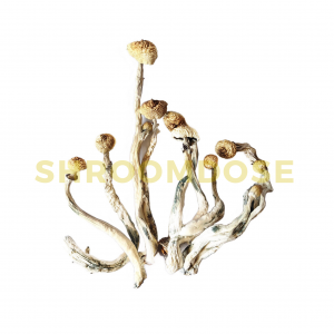albinoa+ shrooms for sale at shroomdose.co