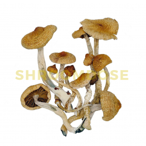 golden teacher mushrooms. golden teacher potency. golden teacher cubensis. psychedelic mushrooms, magic mushshrooms, psilocybin mushrooms for sale, buy shrooms online.