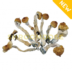 Are you a beginner with magic mushrooms? Buy Blue Meanie Cubensis the perfect psilocybin mushrooms for newbies. Shop online in Canada here.